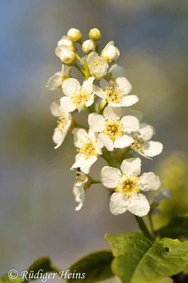 Prunus padus (Gewöhnliche Traubenkirsche), 26.4.2020