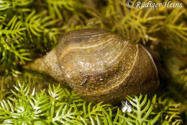 Radix balthica (Gemeine Schlammschnecke), 3.6.2011
