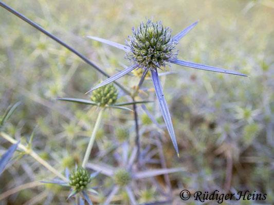 Eryngium planum (Flachblatt-Mannstreu), 30.6.2021