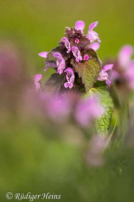 Lamium purpureum (Purpurrote Taubnessel), 19.4.2021