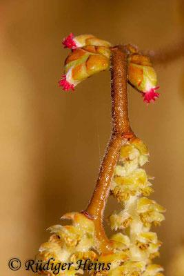 Corylus avellana (Gemeine Haselnuss), 2.4.2006