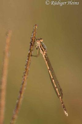 Sympecma fusca (Gemeine Winterlibelle) Männchen, 27.7.2021