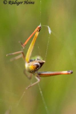 Stenobothrus lineatus (Heidegrashüpfer) Männchen im Spinnennetz, 15.9.2019