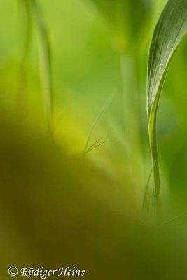 Convallaria majalis (Maiglöckchen) Stiele der Laubblätter, 27.5.2020