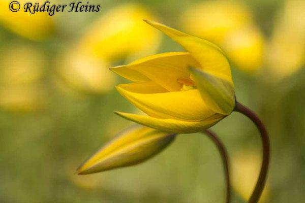 Tulipa sylvestris (Wilde Tulpe), 20.4.2017