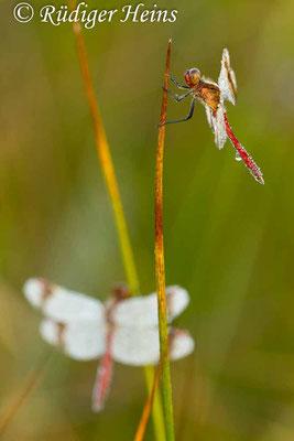 Sympetrum pedemontanum (Gebänderte Heidelibelle) Männchen, 4.8.2012