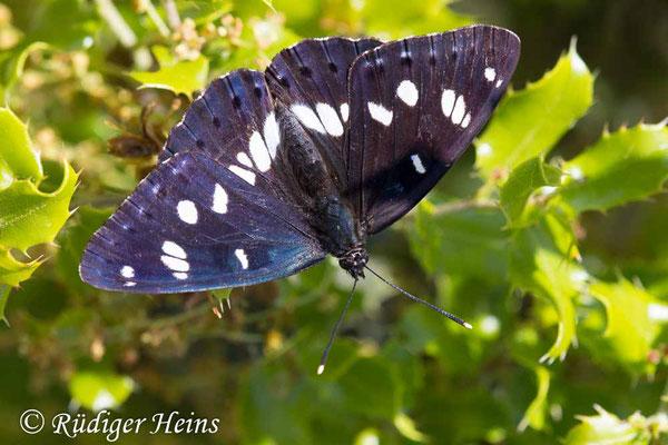 Limenitis reducta (Blauschwarzer Eisvogel), 6.5.2019