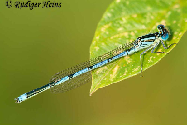 Erythromma lindenii (Pokaljungfer, Saphirauge) Männchen, 4.7.2009