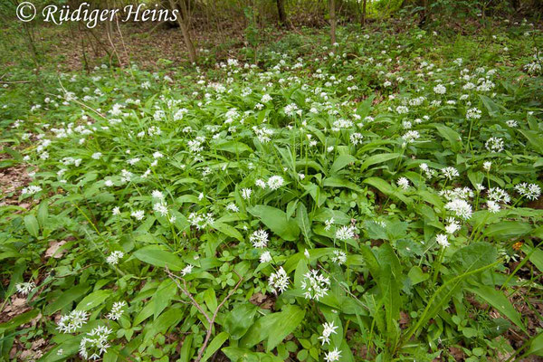 Allium ursinum (Bärlauch), 6.5.2012