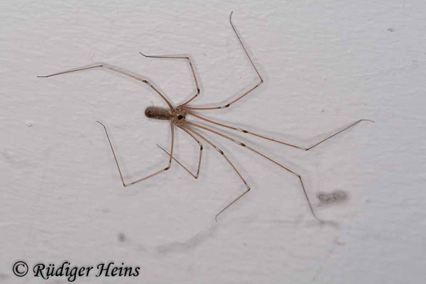 Pholcus phalangioides (Große Zitterspinne), 24.2.2008