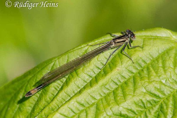 Ischnura elegans (Große Pechlibelle) junges Weibchen, 29.5.2020