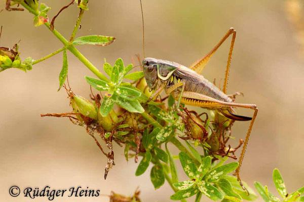 Roeseliana roeselii (Roesels Beißschrecke) Männchen, 2.8.2014