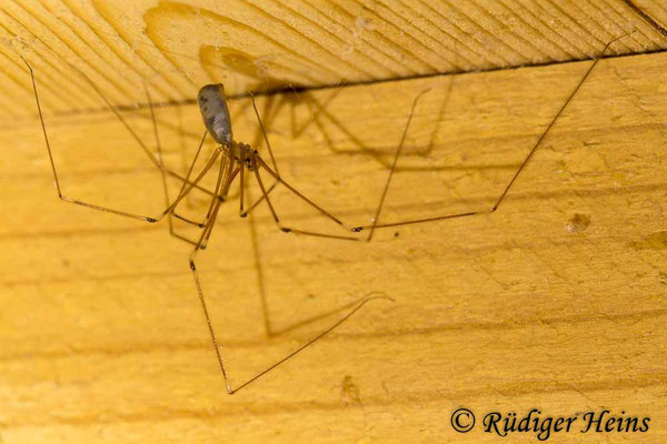 Pholcus phalangioides (Große Zitterspinne), 2.2.2020