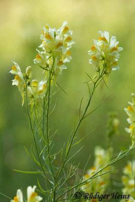 Linaria vulgaris (Echtes Leinkraut), 27.7.2019