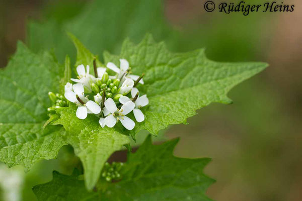 Alliaria petiolata (Knoblauchsrauke), 26.4.2019