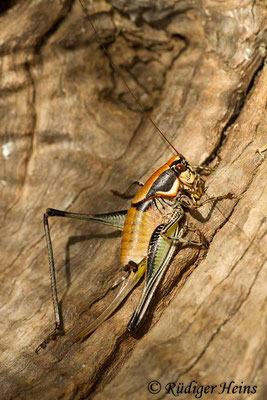 Eupholidoptera smyrnensis Weibchen, 17.5.2015