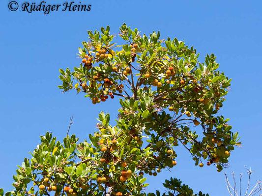 Arbutus unedo (Westlicher Erdbeerbaum), 20.9.2016