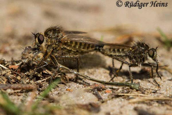 Dysmachus trigonus (Säbel-Raubfliege) Paarung, 28.5.2020