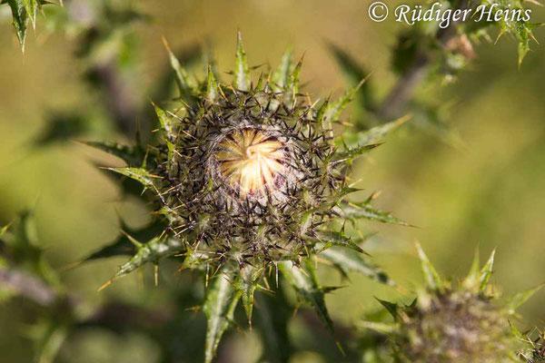 Carlina vulgaris (Golddistel), 15.7.2021