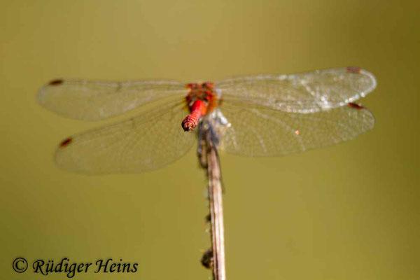 Sympetrum sanguineum (Blutrote Heidelibelle) Männchen, 18.8.2012