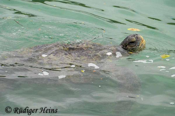Chelonia mydas (Grüne Meeresschildkröte), 18.2.2020