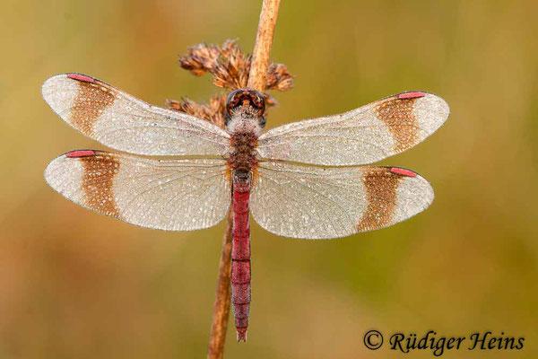Sympetrum pedemontanum (Gebänderte Heidelibelle) Männchen, 16.9.2012