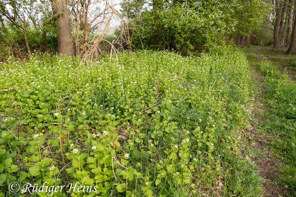 Alliaria petiolata (Knoblauchsrauke), 28.4.2020