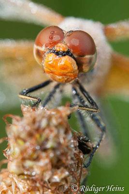 Sympetrum flaveolum (Gefleckte Heidelibelle) Männchen, 7.8.2008