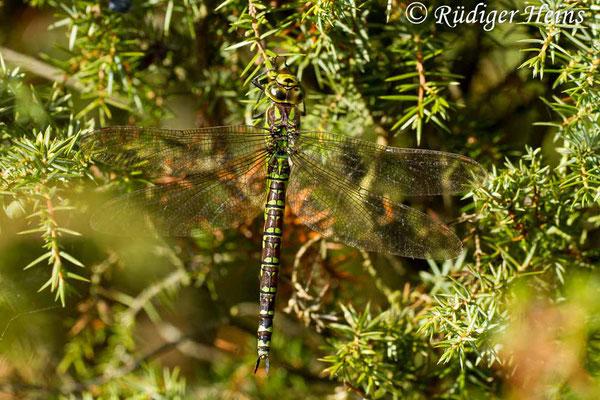 Aeshna cyanea (Blaugrüne Mosaikjungfer) Weibchen, 21.9.2014