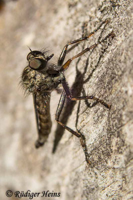 Tolmerus atricapillus (Gemeine Raubfliege) Männchen, 12.7.2020