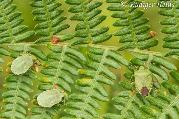 Palomena prasina (Grüne Stinkwanze) Imao und Nymphen, 28.8.2020