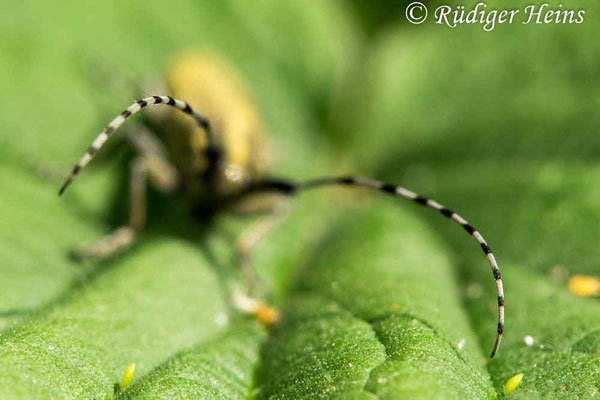 Agapanthia villosoviridescens (Scheckhorn-Distelbock), 26.5.2020