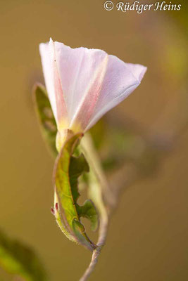 Convolvulus arvensis (Acker-Winde), 3.8.2021