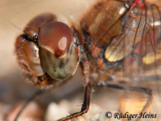 Sympetrum striolatum (Große Heidelibelle) Männchen, 9.10.2009