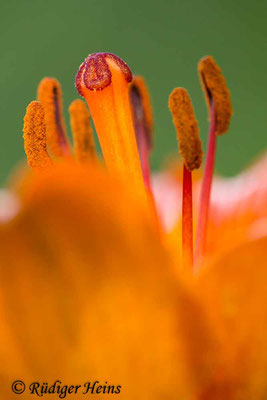 Lilium bulbiferum (Feuer-Lilie), 21.6.2020