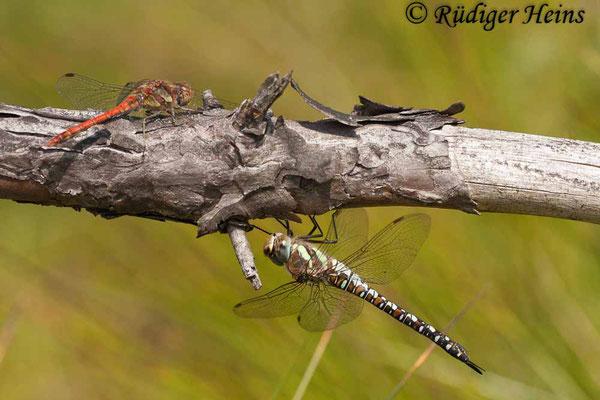 Aeshna mixta (Herbst-Mosaikjungfer) Weibchen und Sympetrum striolatum (Gemeine Heidelibelle) Männchen,  23.8.2009