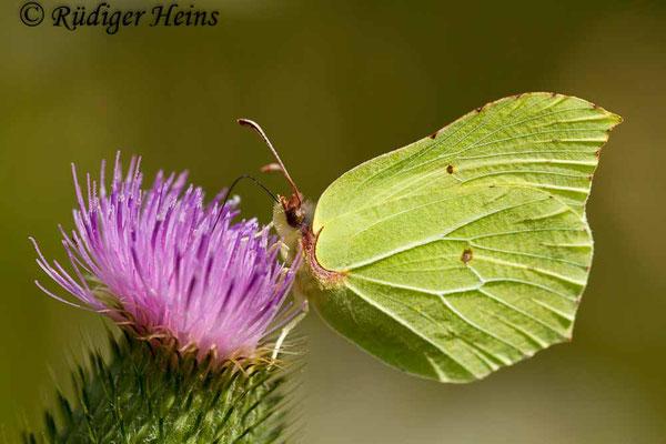 Gonepteryx rhamni (Zitronenfalter), 26.8.2016