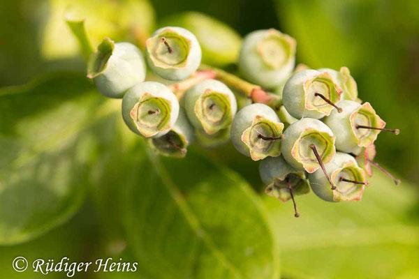 Vaccinium corymbosum (Amerikanische Heidelbeere), 17.6.2020