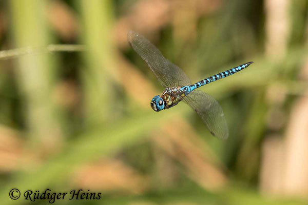 Aeshna affinis (Südliche Mosaikjungfer) Männchen im Flug, 30.7.2021 - Makroobjektiv 180mm f/3.5