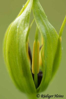Paris quadrifolia (Vierblättrige Einbeere) öffnende Knospe, 16.5.2021 - Makroobjektiv 100mm f/2.8