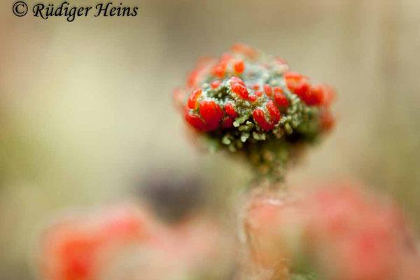 Cladonia sp., 4.12.2017
