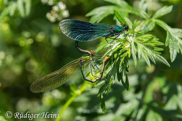 Calopteryx splendens (Gebänderte Prachtlibelle) Paarung, 23.6.2020