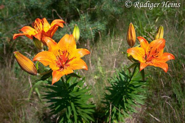 Lilium bulbiferum (Feuer-Lilie), 24.6.2007