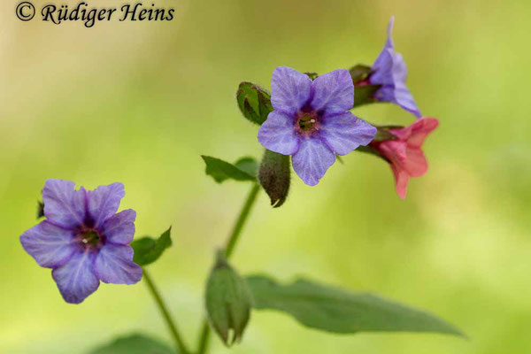 Pulmonaria officinalis (Geflecktes Lungenkraut), 21.4.2014