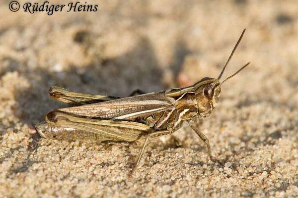 Chorthippus mollis (Verkannter Grashüpfer) Weibchen, 21.9.2017