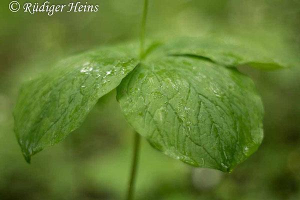 Paris quadrifolia (Vierblättrige Einbeere) Blätter, 27.5.2021 - Pentacolor 50mm f/1,8