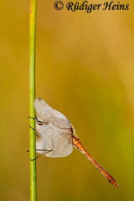 Sympetrum vulgatum (Gemeine Heidelibelle) Männchen, 31.8.2013