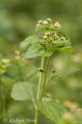 Galinsoga parviflora (Kleinblütiges Franzosenkraut), 22.10.2020