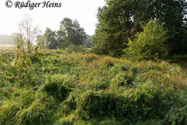 Tettigonia cantans (Zwitscherheupferd) Habitat, 30.8.2019
