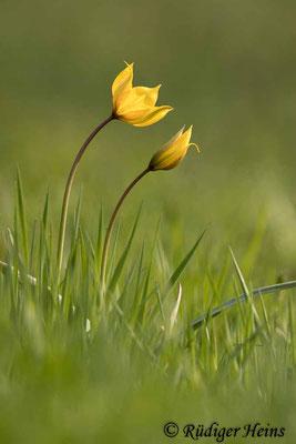 Tulipa sylvestris (Wilde Tulpe), 28.4.2021